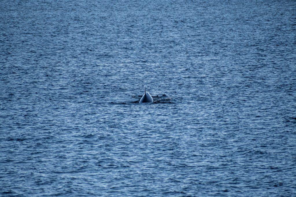 baleines st laurent