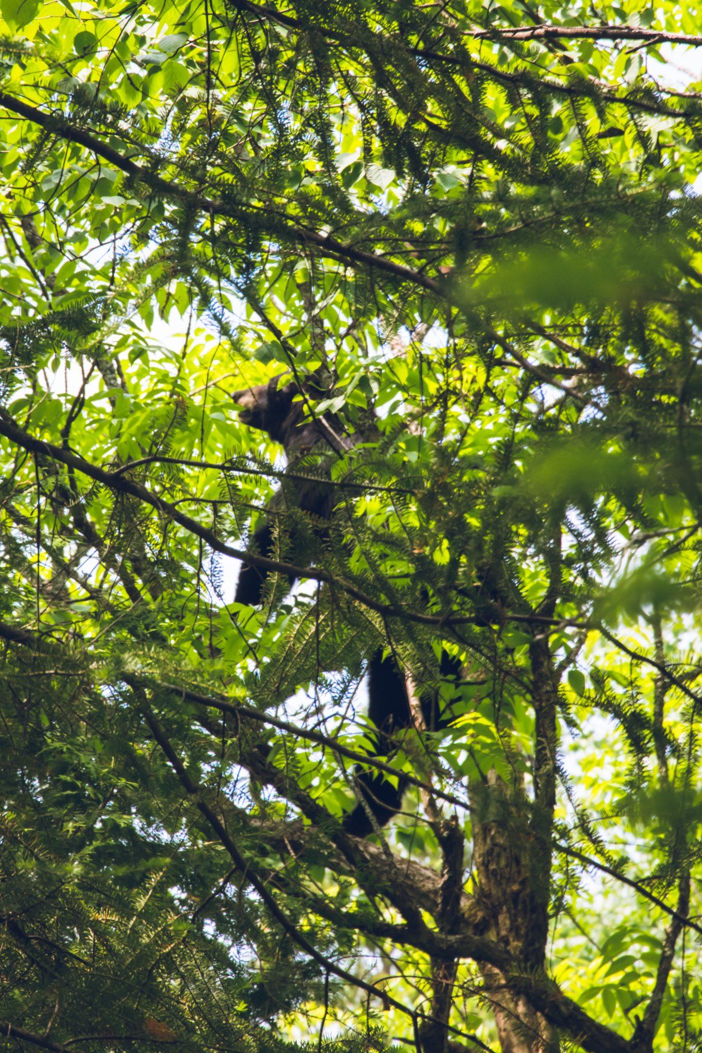 ours arbre