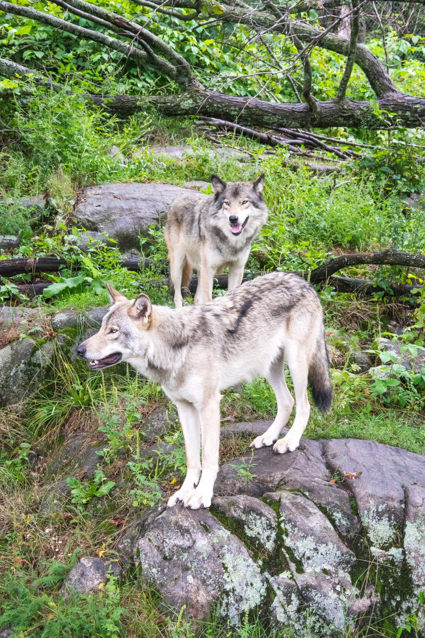 loups parc omega