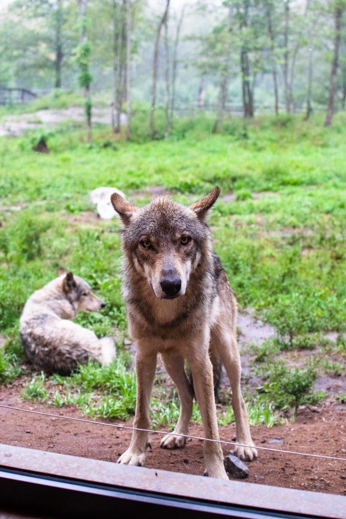 loups parc oméga
