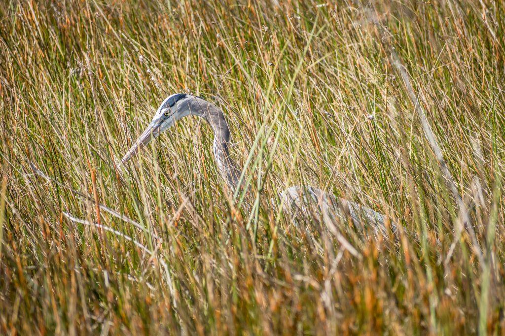 heron Everglades