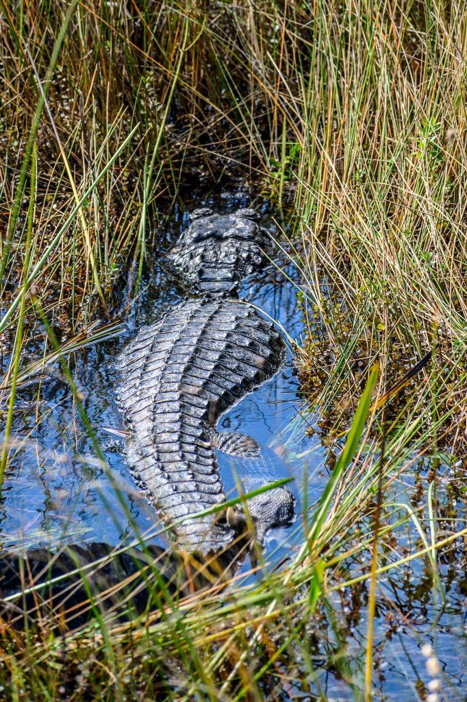 road trip floride alligator