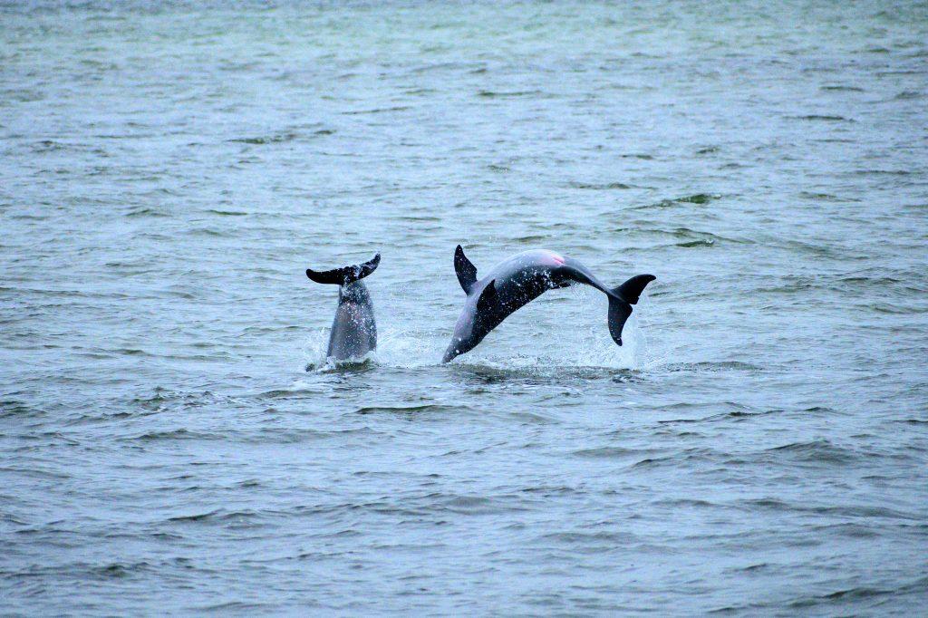 dolphin sanibel