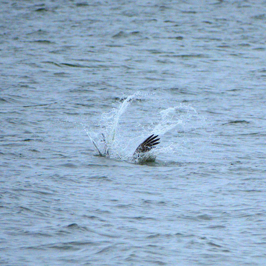 pelican plongeon