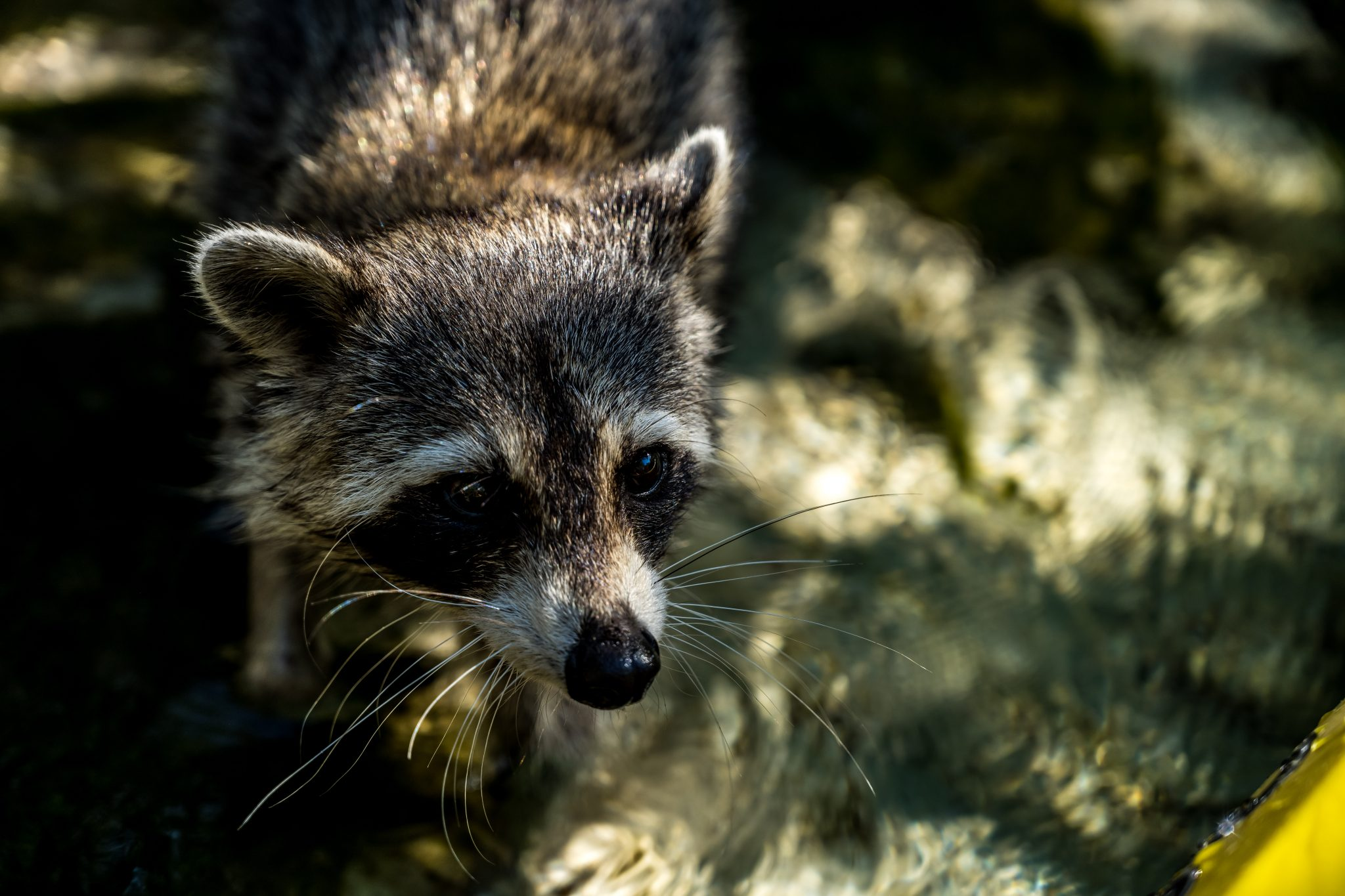 raccoon road trip floride